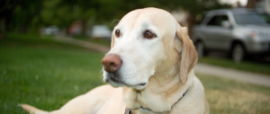 Maggie, the OG Yellow Dog